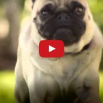 The Sweetest Looking Pug Fights Back!